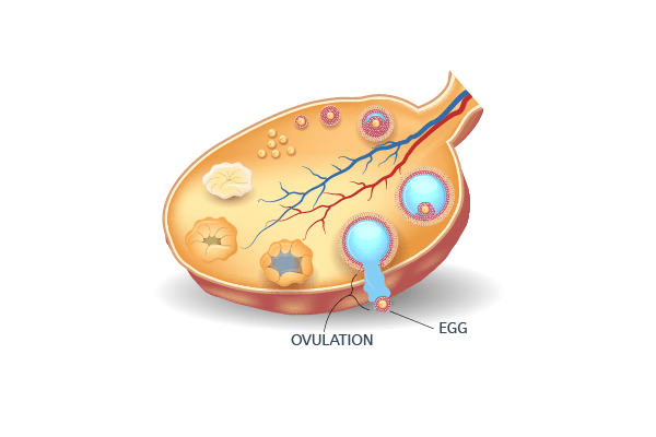 Follicle at ovulation