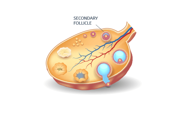 Secondary follicles