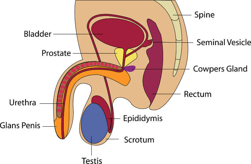 Male infertility testicles male anatomy