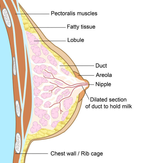 Why progestrone levels cause breast tenderness