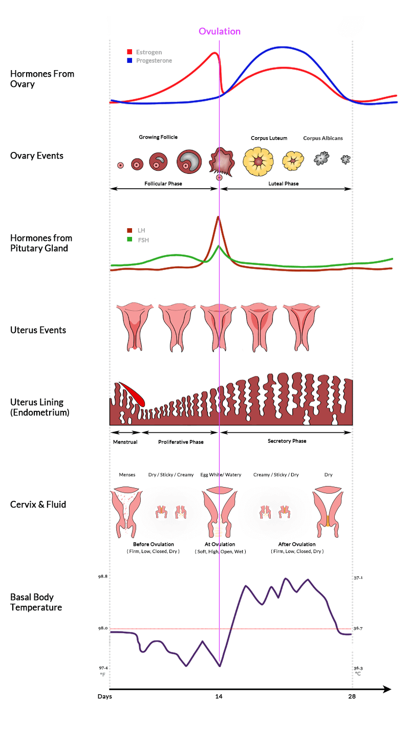 Menstrual cycle hormones ovary uterus chart