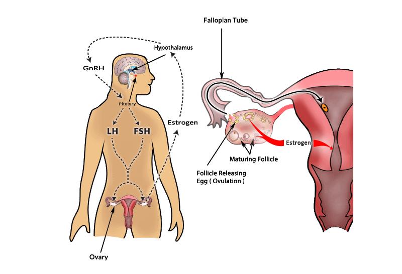Ovulation And Sex 60