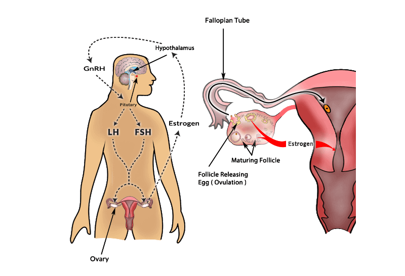 Ovulation hormones