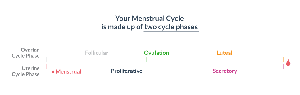 Uterine Cycle and Ovarian Cycle
