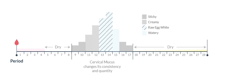 The pattern of changes in cervical mucus